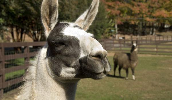 Llama and Alpaca Products